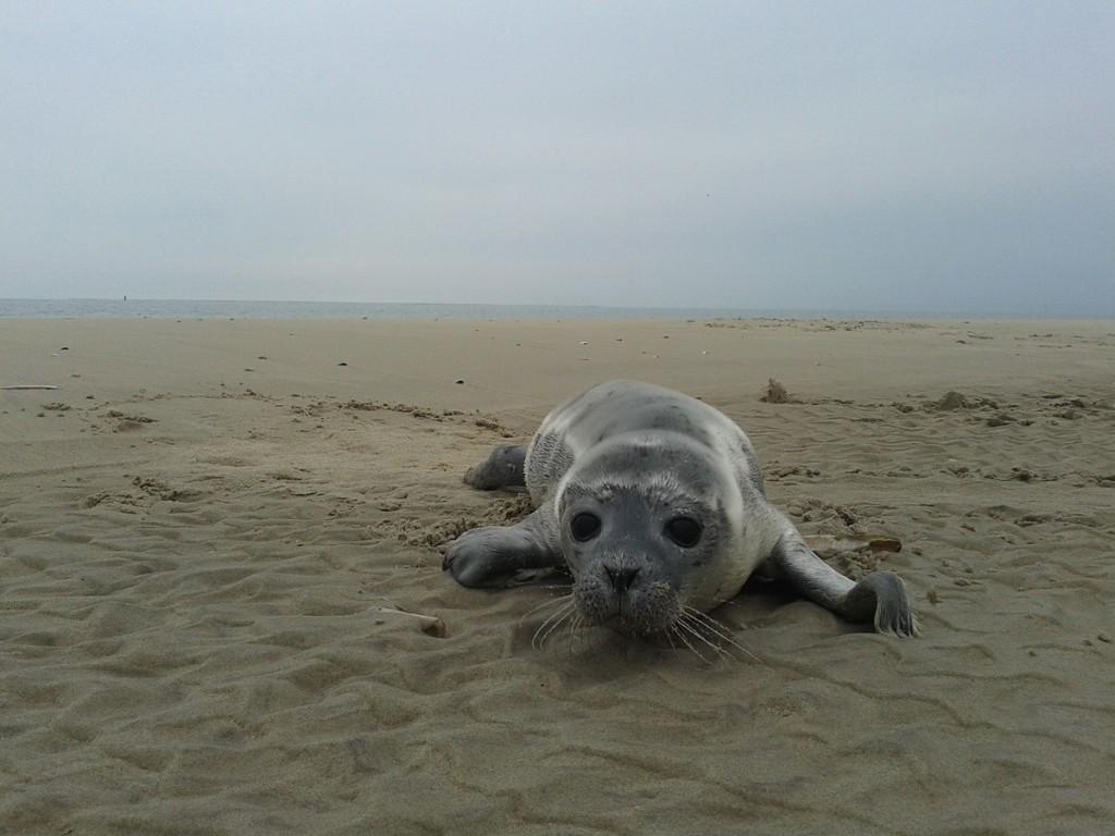 Seehund am Strand von Texel | Ferienwohnung der Familie Porsch