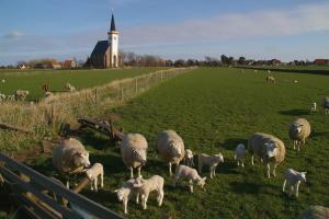 Schafe bei Den Hoorn (Foto: SytskeDijksen)