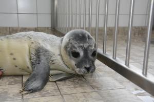 Seehund zur Pflege bei Ecomare